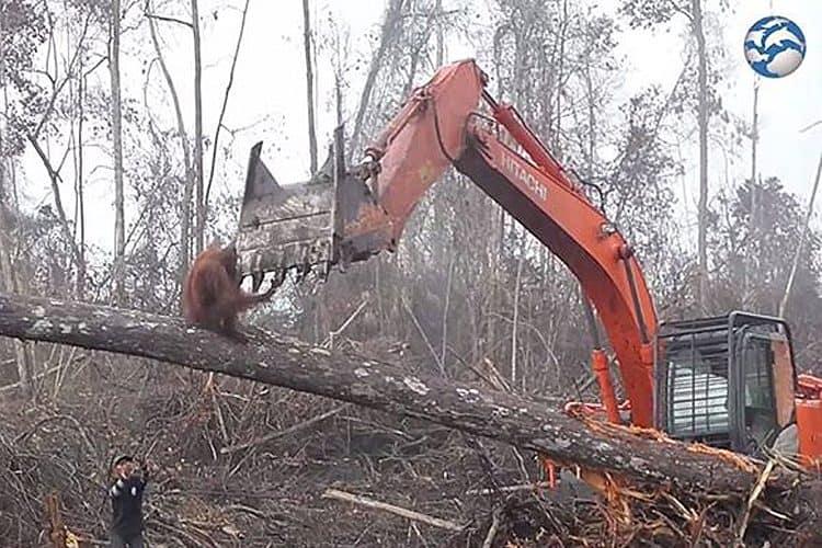 Facebook video shows orangutan defending forest against bulldozer