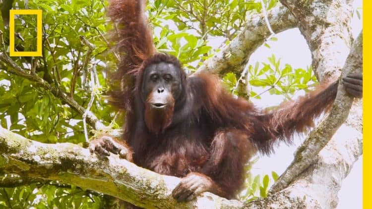 Video: A Rare Look at the Secret Life of Orangutans