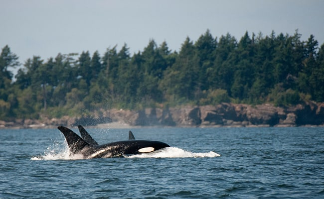 Another Loss Brings West Coast's Beloved Orcas to a 30-Year Low