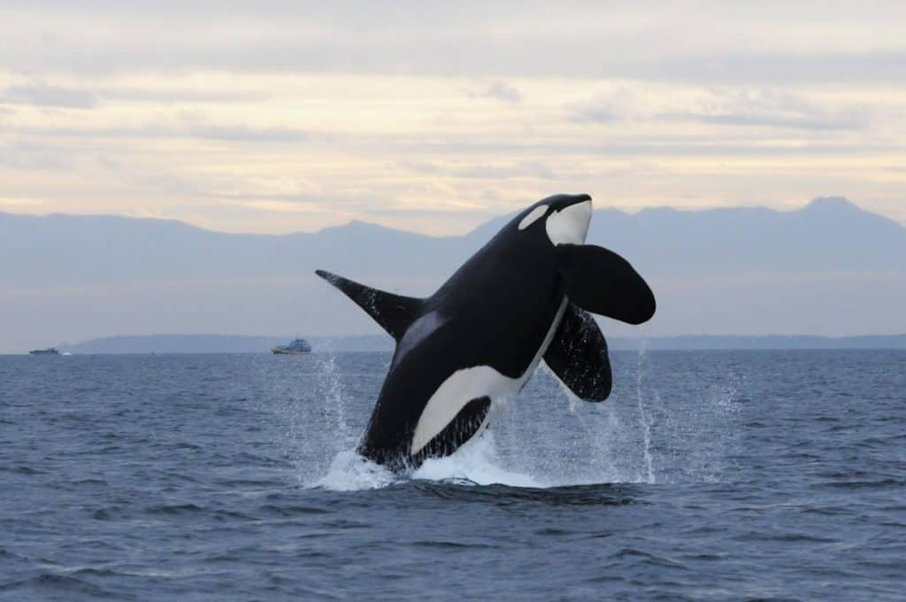 POLL: Should the tagging of orcas be stopped?