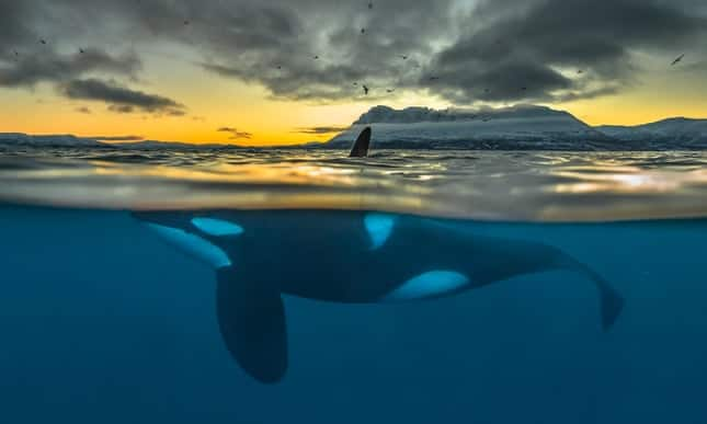 Orca 'apocalypse': half of killer whales doomed to die from pollution
