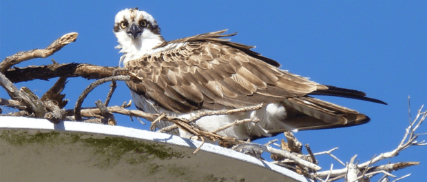 POLL: Should the Osprey be removed from Florida's endangered list?