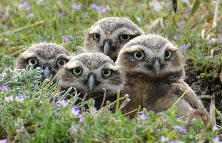 How Are These Rare Burrowing Owls Thriving Next to the Busy LAX Airport?