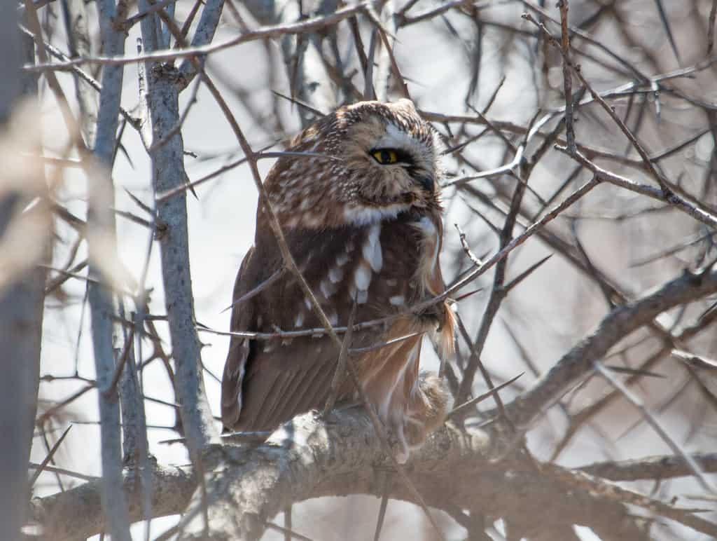 Saw-whet Owl!
