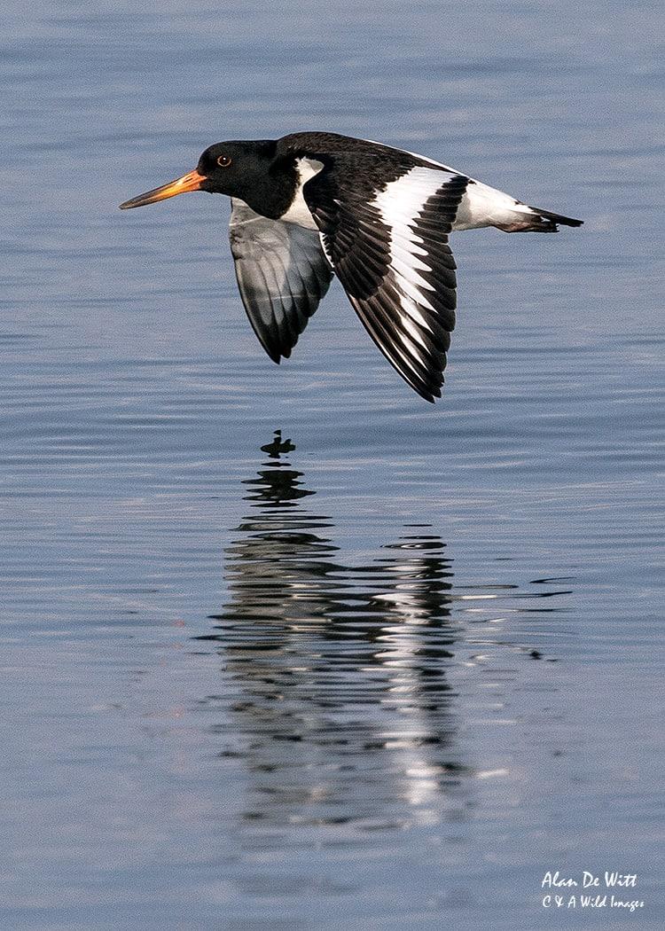 Oystercatcher in flight at RSPB Snettisham