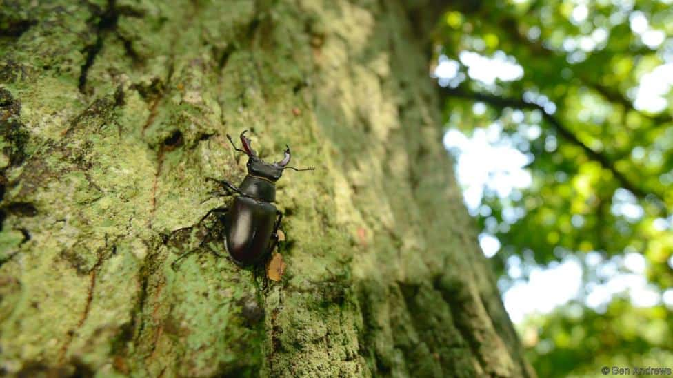 How to protect stag beetles in the UK