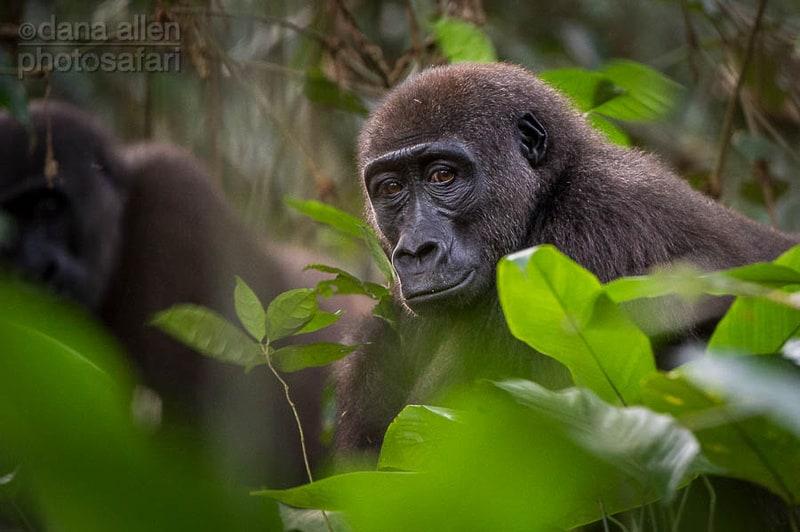 Gorilla gorilla gorilla…
