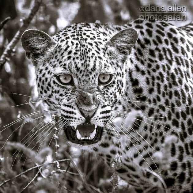 Leopards of Luangwa…