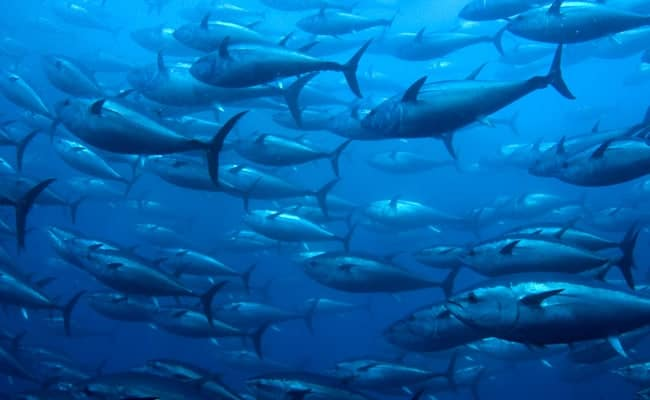 POLL: Should the Pacific Bluefin Tuna be given endangered species protection?