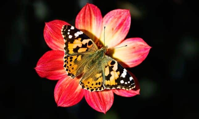 The flight of the painted lady butterfly shows migration in all its beauty