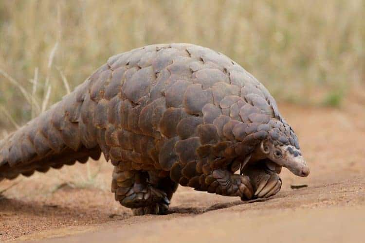 POLL: Should there be a worldwide ban on the pangolin trade?