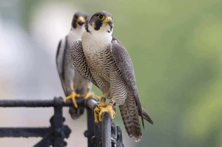 Big city living doesn't stop peregrine falcons from mating for life