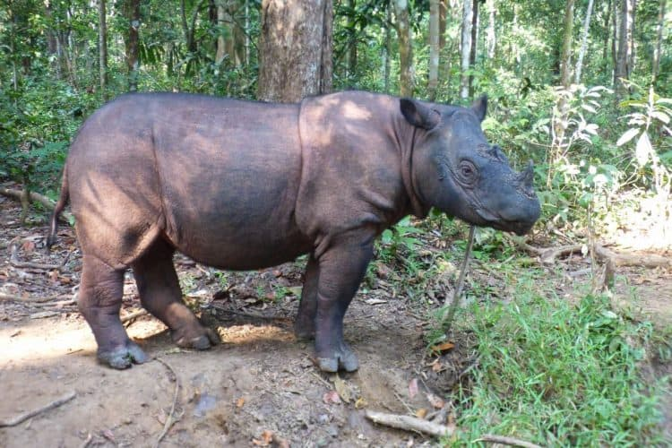 Letter to the Editor: The Sumatran rhinoceros conservation to be classified a status of emergency and a protocol applied accordingly