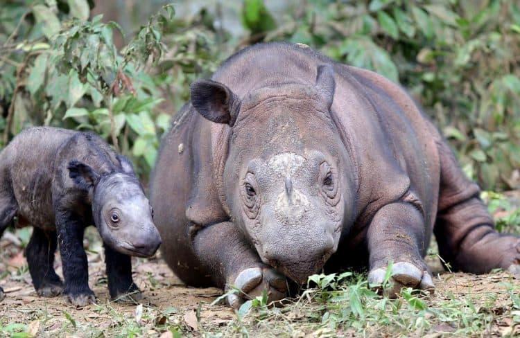 Sumatran rhinos, mother and calf at the Sumatran Rhino Sanctuary (SRS), Indonesia (Photo credit: SRS)