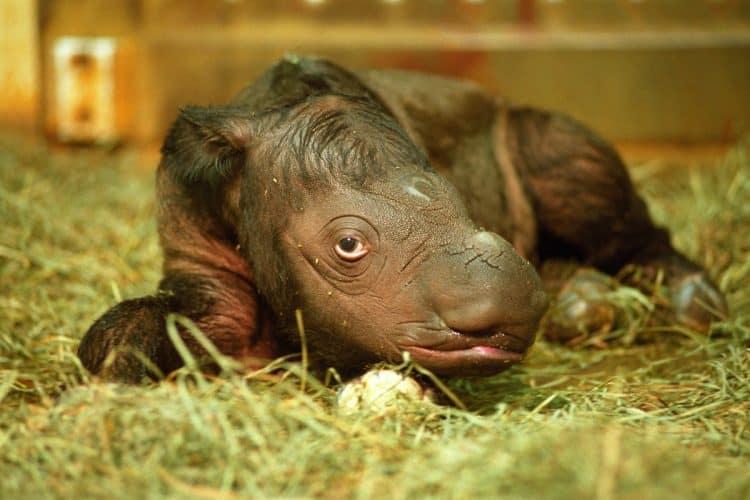 Male calf Andalas, first Sumatran rhinoceros bred ex situ in USA. (Photo credit: Cincinnati Zoo)