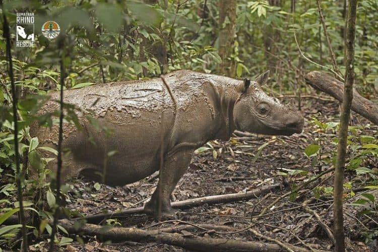 Bornean rhinoceros Dicerorhinus sumatrensis harrissoni. Female Pahu, the last capture in Indonesia (Photo credit: Rhino Rescue and Yayasan Badak Indonesia)
