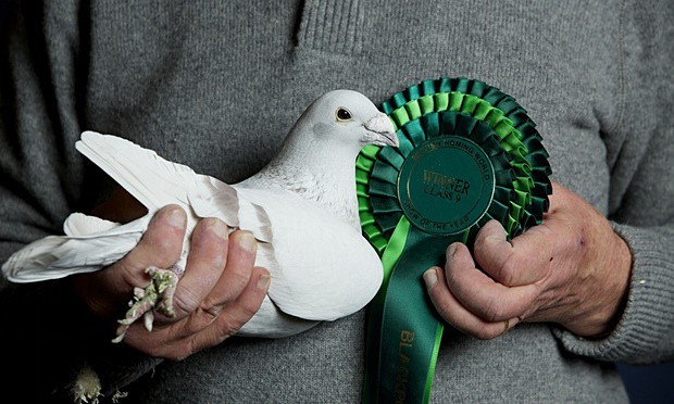 POLL: Should raptors be culled to protect racing pigeons?