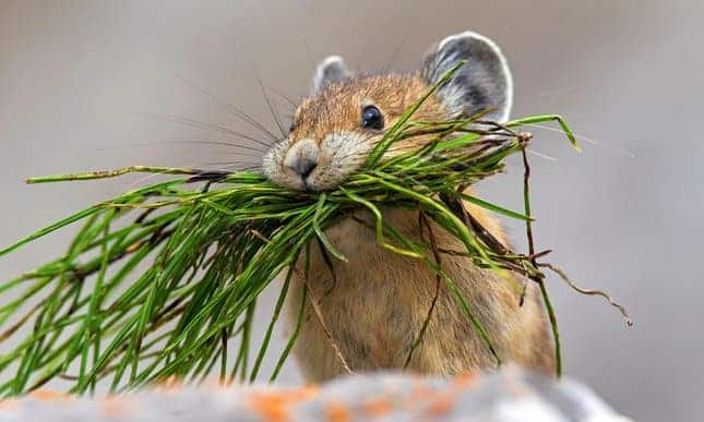 American pika vanishing from western US as 'habitat lost to climate change'