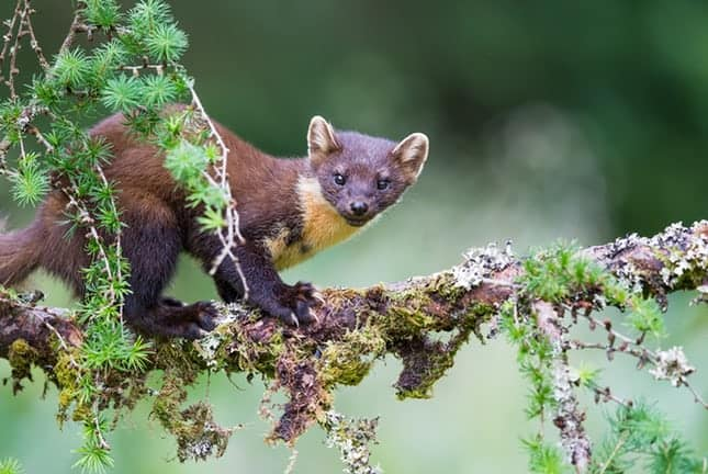 Pine marten spotted in Kielder forest for first time in 90 years