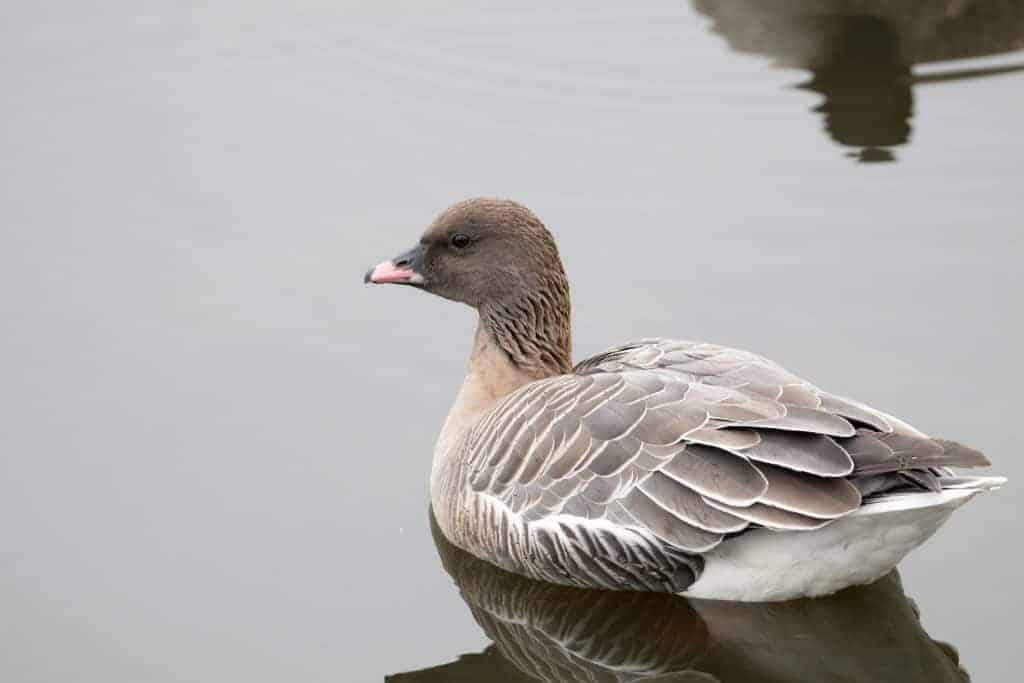 More about that Pink-footed Goose