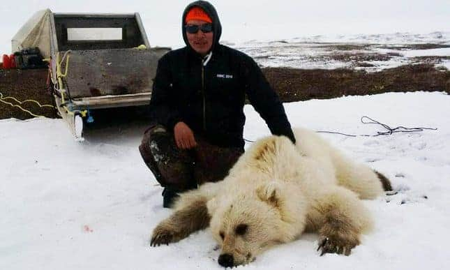 Pizzly or grolar bear: hybrid species is result of climate change