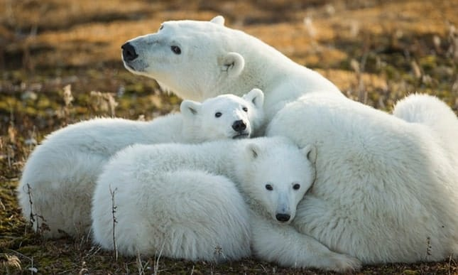 Climate change is 'single biggest threat' to polar bear survival