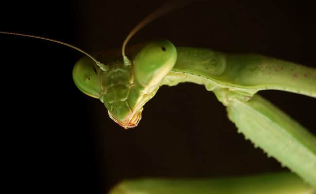 POLL: Should Praying Mantises be used for pest control?