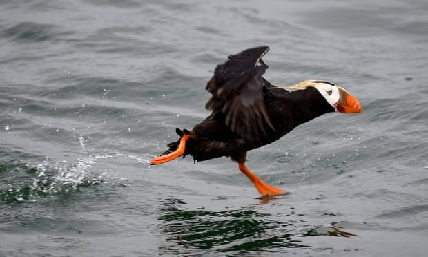Climate crisis may be a factor in tufted puffins die-off, study says