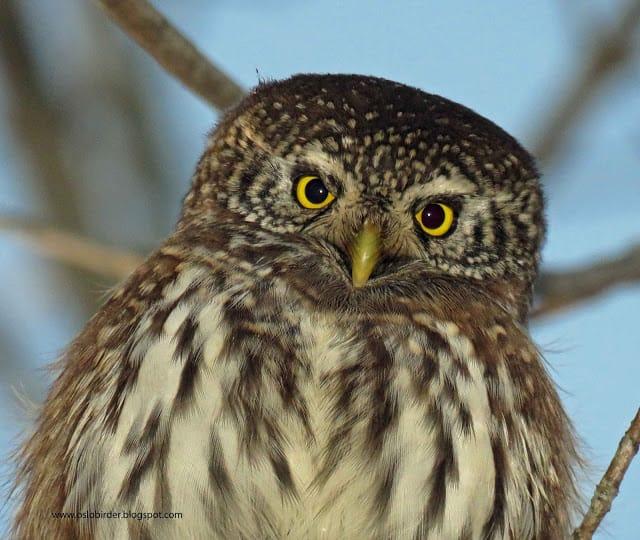 Pygmy Owls in Maridalen