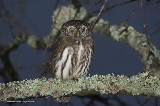 Sleeping Pygmy Owl