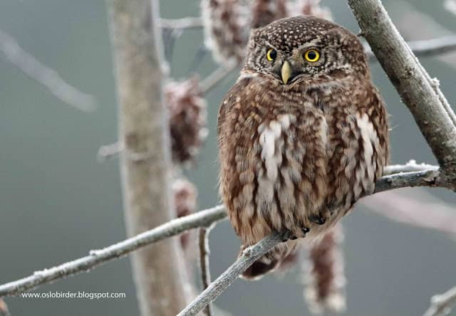 More Pygmy Owls
