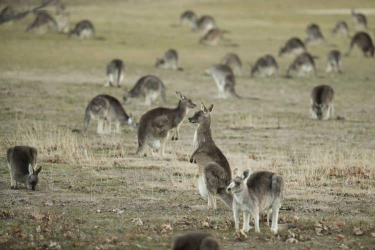 More than 1000 kangaroos to be shot in south-west in new harvest program