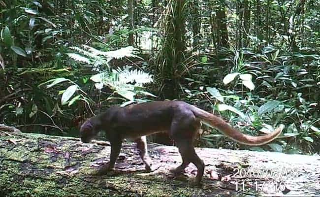 Scientists Discover Rare and Endangered Cat in Borneo