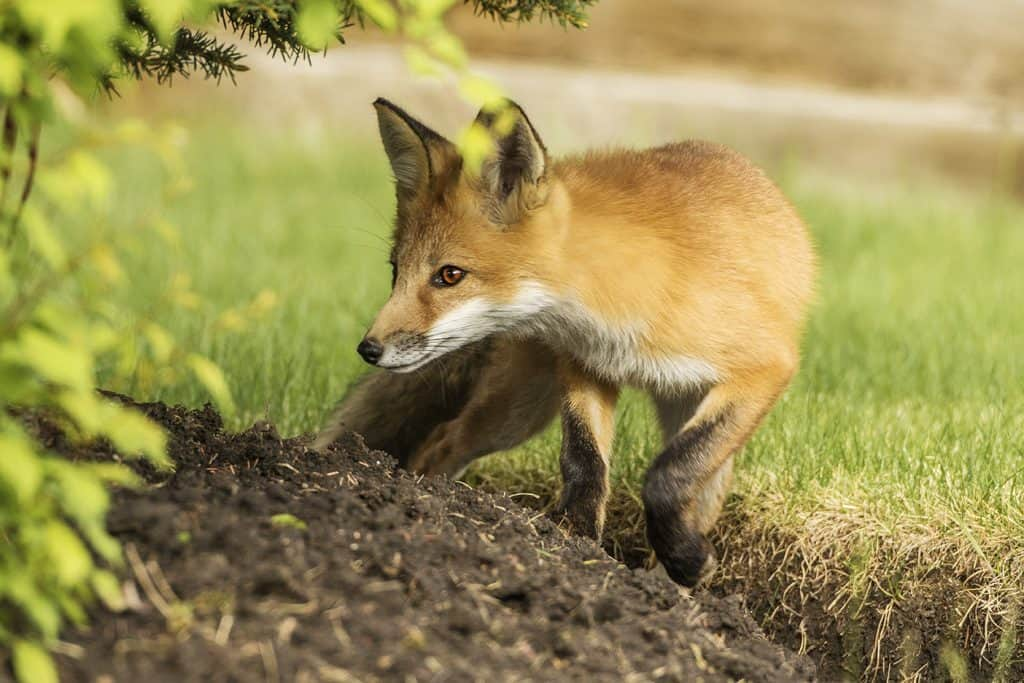 red fox 01 06 2016 0r8a9958