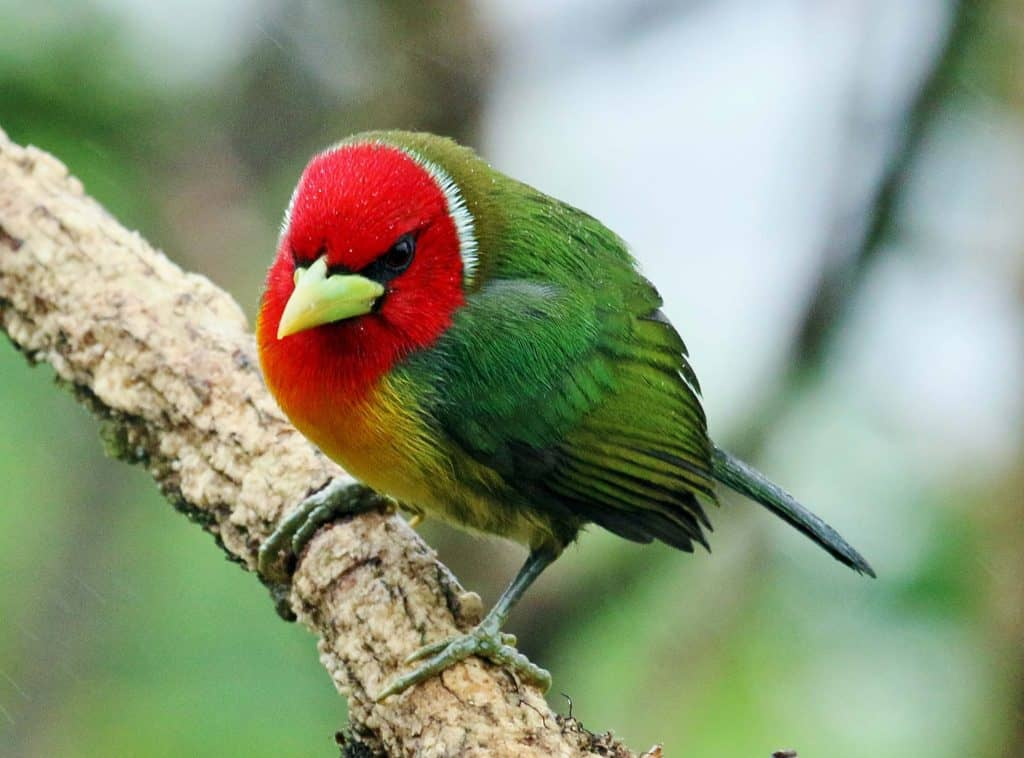 red headed barbet2