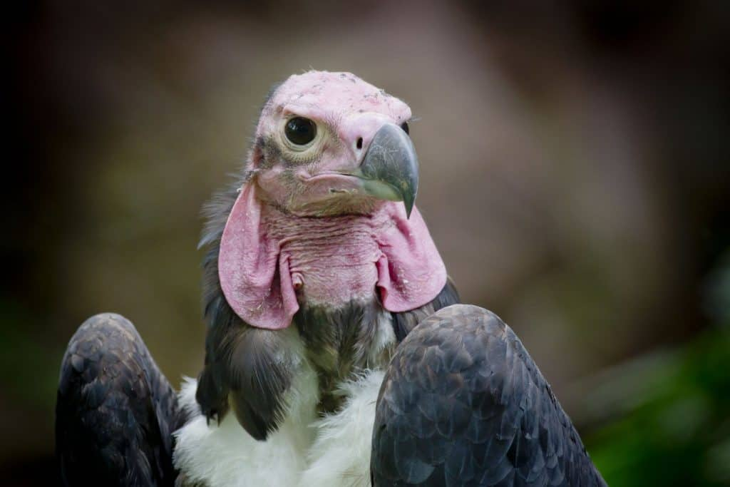 Can we bring vultures back to Thailand?