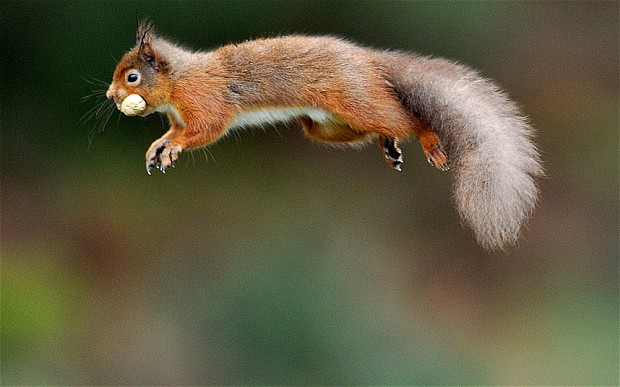 POLL: Should the grey squirrel be culled to protect the red squirrel?
