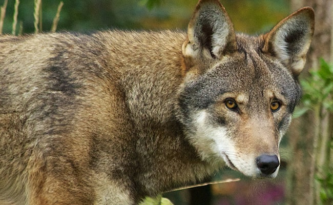 POLL: Should Trump's Administration Remove Protection for Red Wolves?