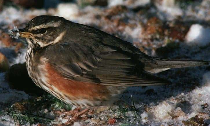 Hundreds of redwings have descended on our gardens