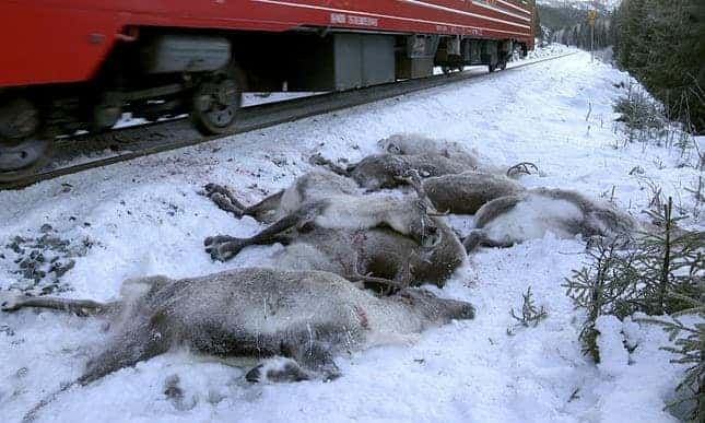 More than 100 reindeer killed by freight trains in Norway 'bloodbath'