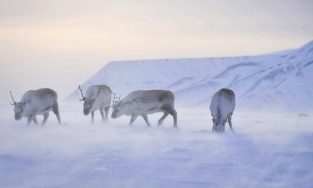 Reindeer shrink as climate change in Arctic puts their food on ice