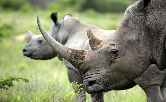 South Africa's First Legal Rhino Horn Auction Threatens Conservation Efforts