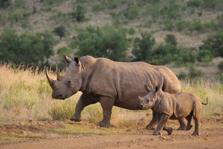 190 Rhinos Poached In Kruger National Park This Year Already