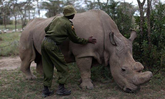 Last male northern white rhino is put down