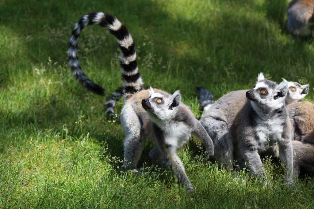 The Curious Case of Lemur Conservation