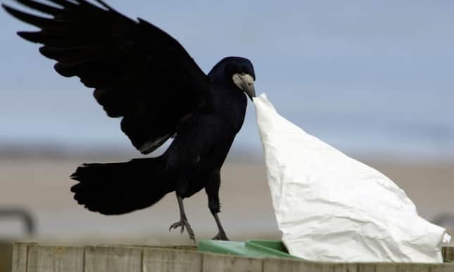 Rook at this mess: French park trains crows to pick up litter