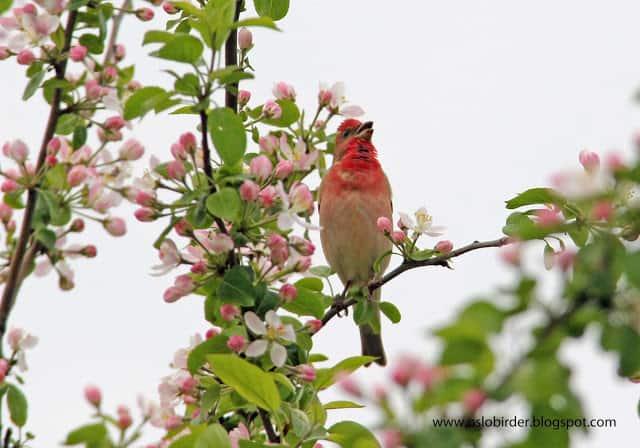 Rosefinch in apple blossom