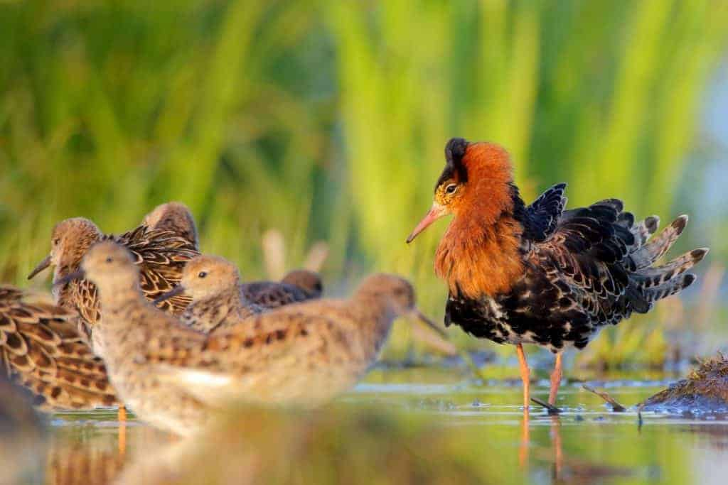 Record-breaking 120,000 Ruffs counted in Belarus