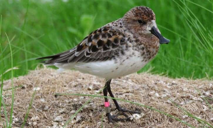 Endangered sandpipers lay eggs in captivity for the first time