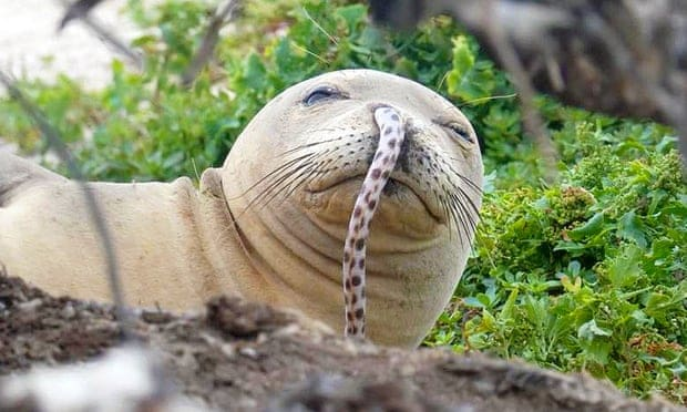 Endangered Hawaiian monk seals face new challenge: eels stuck up their noses